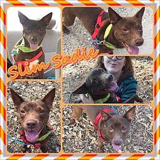 Cattle Dog/Terrier (Unknown Type, Medium) Mix Dog for adoption in Louisiana, Missouri - Slim