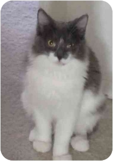Domestic Longhair Cat for adoption in Phoenix, Arizona - Cocoa Puff