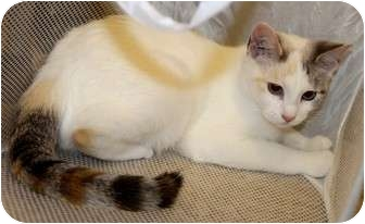 Domestic Shorthair Kitten for adoption in Nolensville, Tennessee - Crystal
