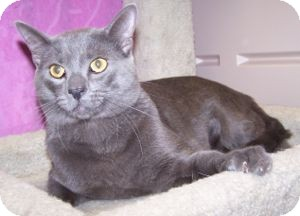 Russian Blue Cat for adoption in Colorado Springs, Colorado - Lennon