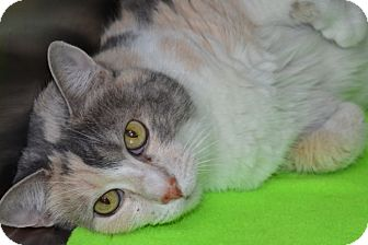 Domestic Shorthair Cat for adoption in Elyria, Ohio - Kitty
