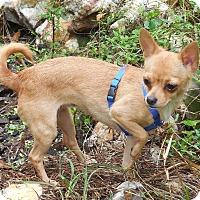 Adopt A Pet :: Beauty - Ormond Beach, FL