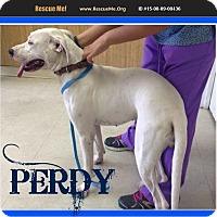 Adopt A Pet :: perdy - bullard, TX