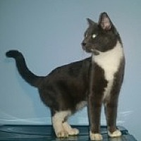Domestic Shorthair Cat for adoption in Livonia, Michigan - Jackie