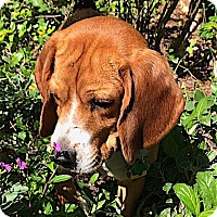 Adopt A Pet :: Ernie - Houston, TX