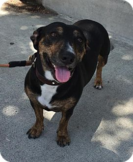 Dachshund/Terrier (Unknown Type, Medium) Mix Dog for adoption in Los Angeles, California - Lila (was Noel) CAT FRIENDLY