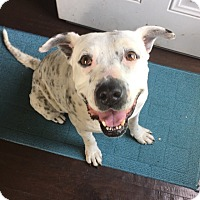 American Bulldog Mix Dog for adoption in New Albany, Ohio - Francesca