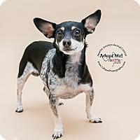 Adopt A Pet :: Dandy - Apache Junction, AZ