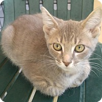 Domestic Shorthair Kitten for adoption in Bryson City, North Carolina - Sherman