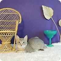 Domestic Shorthair Kitten for adoption in Roanoke, Texas - Pearl