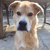 Shepherd (Unknown Type)/Labrador Retriever Mix Dog for adoption in Pt. Richmond, California - BODIE