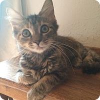 Domestic Mediumhair Kitten for adoption in Beacon, New York - Mia