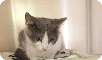 Domestic Shorthair Kitten for adoption in Olivet, Michigan - Lilly