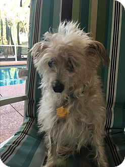Terrier (Unknown Type, Small) Mix Dog for adoption in Lehigh, Florida - Cody