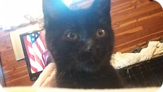 Domestic Mediumhair Kitten for adoption in Warren, Michigan - Ruby 2