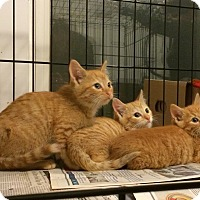 Adopt A Pet :: Saffron, Curry and Cinnamon - Brooklyn, NY
