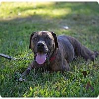 Plott Hound Mix Dog for adoption in Austin, Texas - Petra
