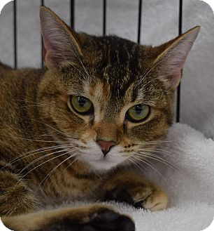 Domestic Shorthair Cat for adoption in Mountain View, California - Blossom