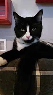 Domestic Shorthair Cat for adoption in Sistersville, West Virginia - Archie