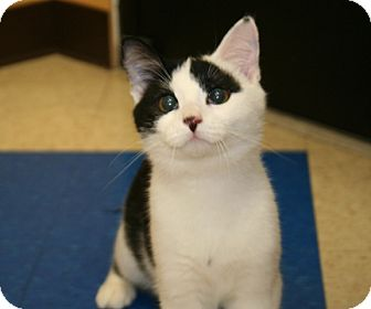 American Shorthair Cat for adoption in Plainfield, Connecticut - Dancer