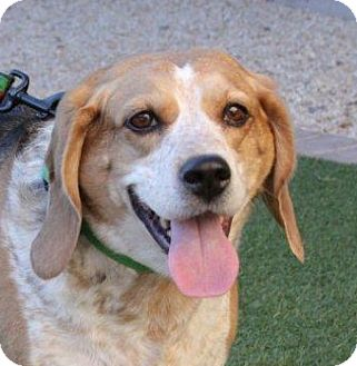 Beagle Mix Dog for adoption in Phoenix, Arizona - Mia