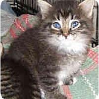 Adopt A Pet :: Kitten Preview - Dallas, TX