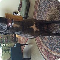 Adopt A Pet :: Gordon - O'Fallon, MO