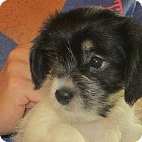 Adopt A Pet :: Beatrice - Salem, NH
