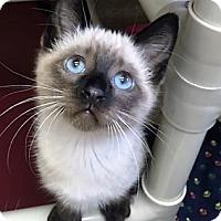 Adopt A Pet :: Kitten Igloo - Seal Beach, CA