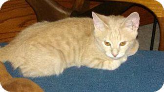 Domestic Shorthair Kitten for adoption in Oviedo, Florida - Stubster