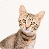 Adopt A Pet :: Honey - Fountain Hills, AZ