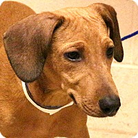 Adopt A Pet :: Linny Girl~meet me~ - Glastonbury, CT