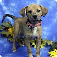 Adopt A Pet :: STEPHI - Westminster, CO