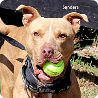 American Pit Bull Terrier Mix Dog for adoption in Madisonville, Tennessee - Sanders