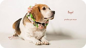 Beagle Dog for adoption in Chino Hills, California - Bagel - Chino Hills