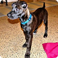 Adopt A Pet :: Toy - West Palm Beach, FL