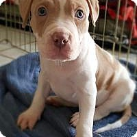 Adopt A Pet :: TRICK - LOS ANGELES, CA