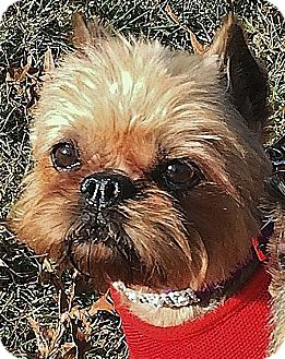 Brussels Griffon Dog for adoption in Overland, Kansas - MILEY - Bonded with Levi