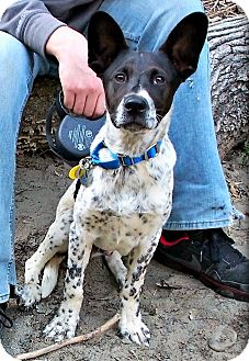 Blue Heeler Mix Dog for adoption in Springfield, Massachusetts - Twitch!
