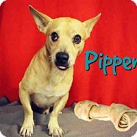 Adopt A Pet :: *PIPPEN - Sugar Land, TX