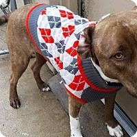 Adopt A Pet :: Chance - Wichita, KS