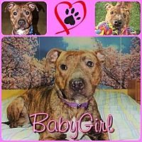 Adopt A Pet :: BabyGirl (aka Miss BG) - Louisiana, MO