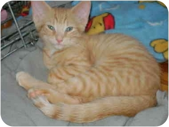 Domestic Shorthair Kitten for adoption in Etobicoke, Ontario - orange boy