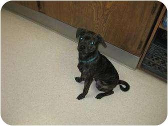 Boston Terrier/Dachshund Mix Dog for adoption in La Grande, Oregon