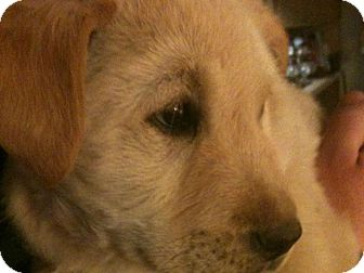 Golden Retriever Mix Puppy for adoption in Denver, Colorado - Pauly