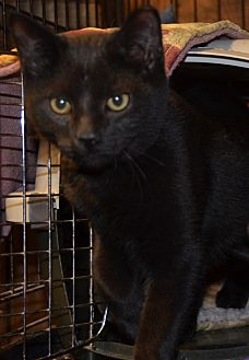 Domestic Shorthair Kitten for adoption in Taftville, Connecticut - Cole and Sidney