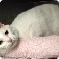 Adopt A Pet :: Snowball - low maintenance - Herndon, VA