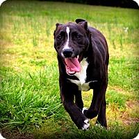 Adopt A Pet :: Brooke~ meet me! - Glastonbury, CT