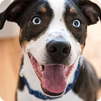 Adopt A Pet :: Benny (fka Hershey) - McKinney, TX