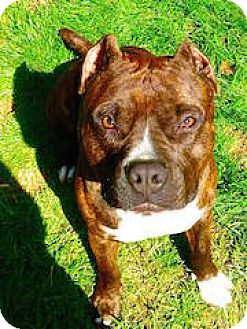 American Pit Bull Terrier Dog for adoption in Fulton, Missouri - Skippy-North Carolina
